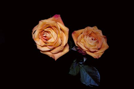 Two yellow roses against a black background Imagens