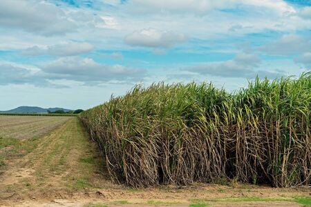 A field of sugar cane ready for harvesting to go to the mill at the start of the crushing season