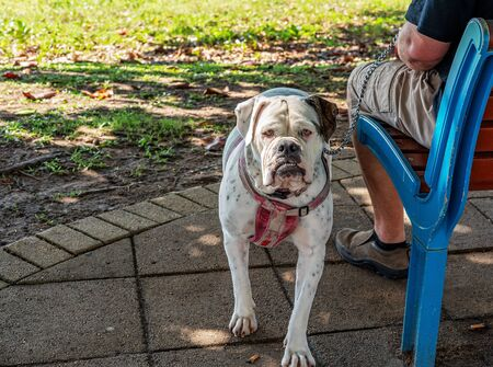 A mean and ugly dog in a park held at bay by its owner