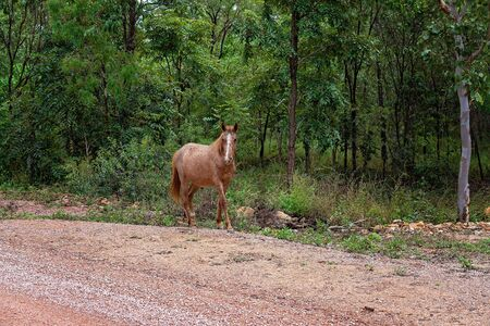 A wild brumby horse walking on the side of a dirt bush track into the mountains