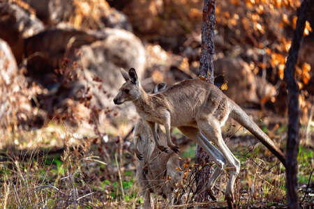 An Australian kangaroo hopping away on its hind legs with another nearby in a bushland setting