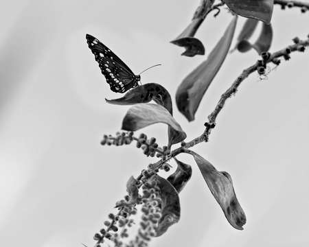 A butterfly landed on An Australian bush plant in monotone colouring Stock Photo