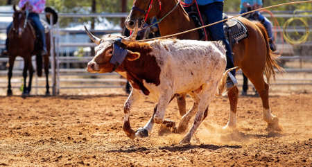 Calf being lassoed in a team calf roping event by cowboys at a country rodeo Stock Photo