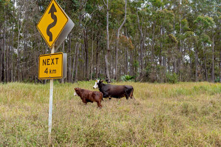 Dairy cows in a grassy paddock beside a sign warning of a winding road for next 4 km