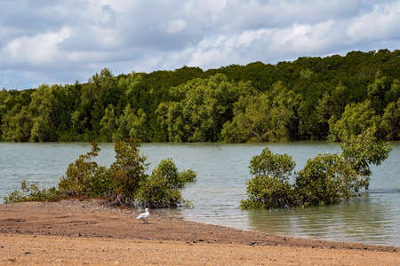 A seagull looking for food on the banks of a mangrove tidal creek Imagens