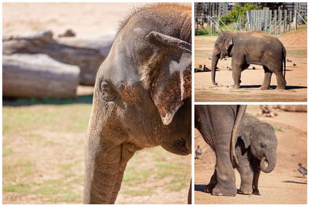 Collage of an elephant and her baby playing around its mothers legs