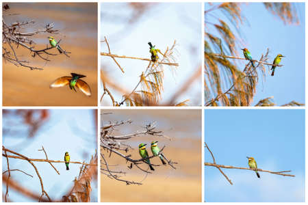 Collage of bee-eater birds perched on tree branches Stock Photo