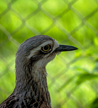 Bush stone curlew standing against a wire mesh fence with a bright green background