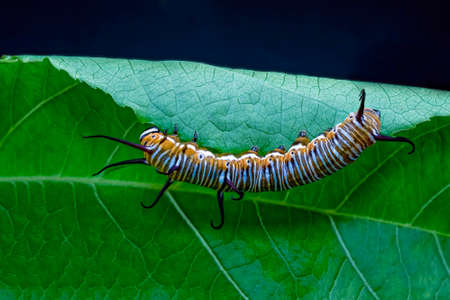 An orange and black striped caterpillar which will eventually evolve into a monarch butterfly