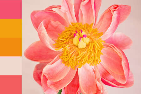 The color theme of a peony flower. Designer pack with photograph and swatches.