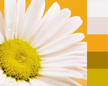 The color theme of a daisy. Designer pack with photograph and swatches.