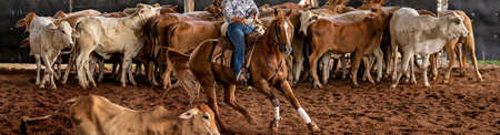 A horse and rider herding calves in a western style equestrian cutting competition Stock Photo