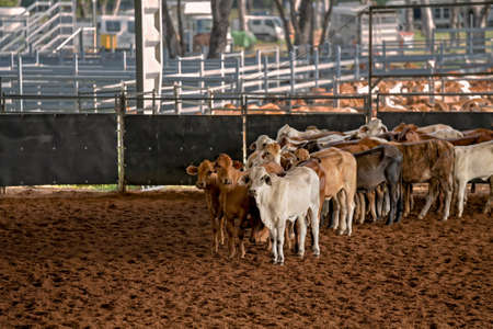 Calves herded in an arena during a cutting competition