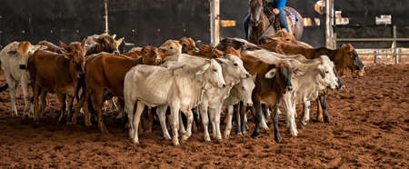 A horse and rider herding calves in a western style equestrian cutting competition