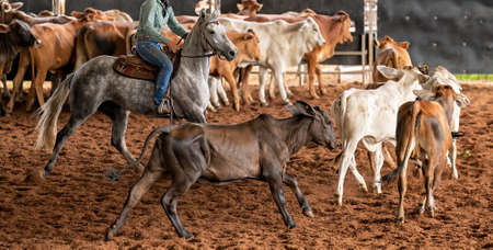 A horse and rider herding calves in a western style equestrian cutting competition Foto de archivo