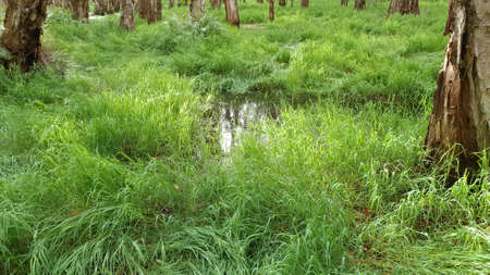 Lush swamp grass growing in a paper bark forest wetlands ecosystem