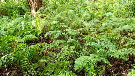 A lush green carpet of ferns in a wetlands melaleuca forest 免版税图像