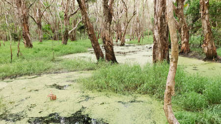Algae covered swamp water in a forest wetlands ecosystem 免版税图像