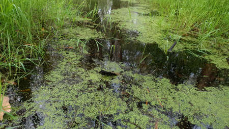 Algae covered swamp water in a forest wetlands ecosystem Stock fotó