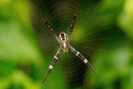 The gossamer web of a young St Andrew Cross spider 免版税图像