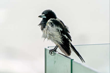Close up of a butcherbird sitting on a glass fence