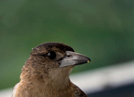 Close up of a butcherbird sitting on a railing