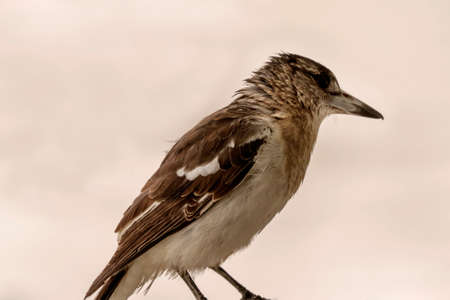 The feathers of a butcherbird against a blank toned background 免版税图像