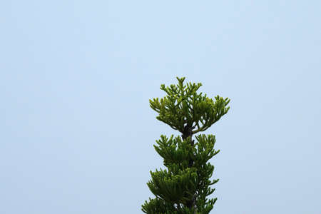 The top of a green pine tree against a clear blue sky