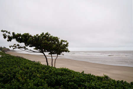 A tree on the beach blowing in the strong wind coming in off the ocean on an overcast rainy day 免版税图像