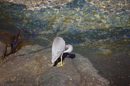 A white-faced heron standing on a rocky bank beside sea water pecking its feathers Фото со стока