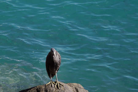 A white-faced heron standing on a rocky bank beside the ocean Фото со стока