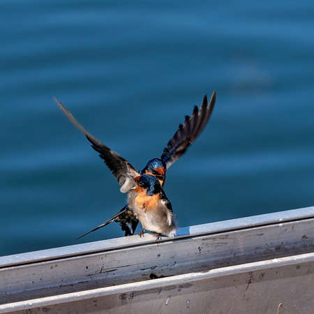 Two welcome swallows, one objecting to the presence of the other as they perch on a railing with a blue water background