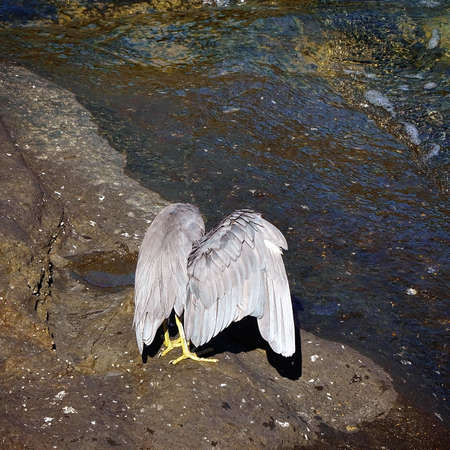 A white-faced heron standing on a rocky bank beside sea water drying its wings