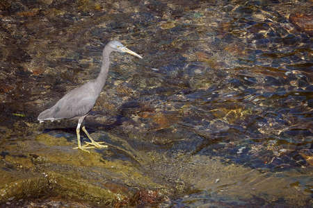 A white-faced heron standing on a rocky bank beside sea water