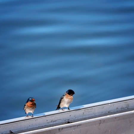 Two little welcome swallows sitting on a railing with a water background