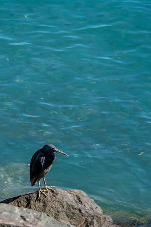 A white-faced heron standing on a rock beside the ocean Фото со стока