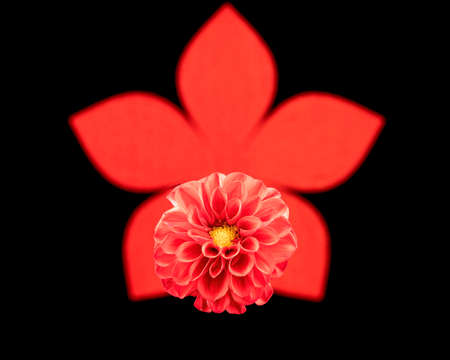 A dahlia flower against a red floral shaped background on black Banco de Imagens