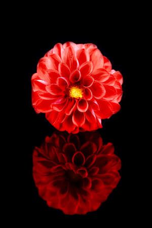 A perfect dahlia flower on a black background with reflection Banco de Imagens