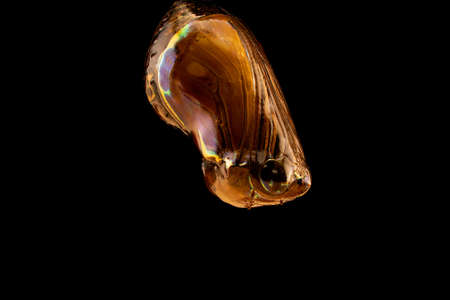A butterfly chrysalis in macro against a black background