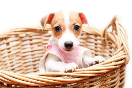 puppy in rattan basket on white background Stock Photo