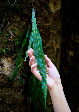 pureness: Nature touch, Hand holding a green leaf in forest Stock Photo