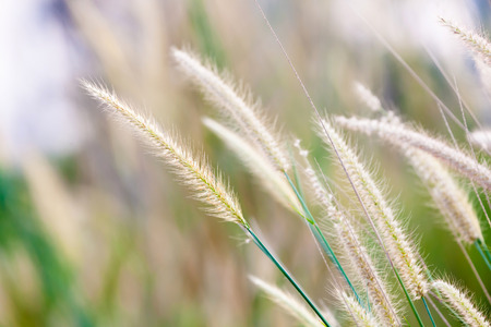 nature beauty: Tropical wild cereal grass in field, shallow depth of field Stock Photo