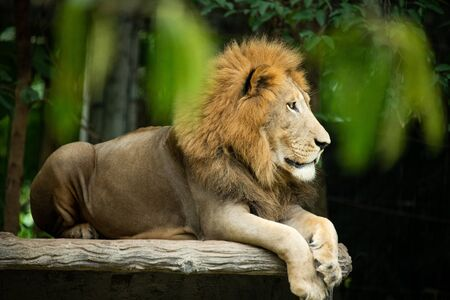 Closeup solemn big male Lion lying on artificial wood bench with green nature background.