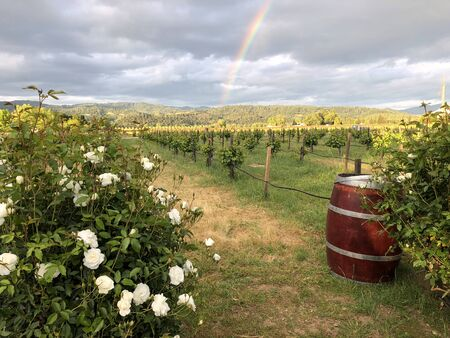 Napa Valley Vineyard with a rainbow cascading in the background