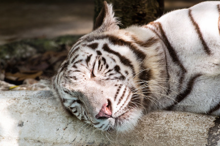 White tiger relax close up photo