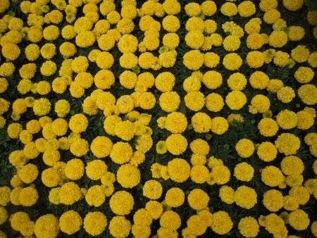 Yellow Flowers Imagens
