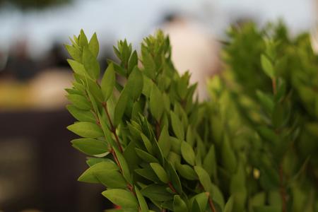 Myrtle Branches for Sukkot