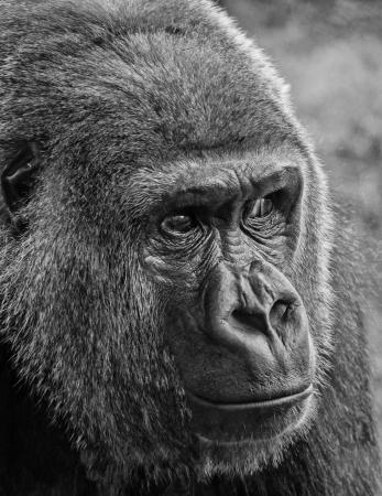 kink: Gorilla