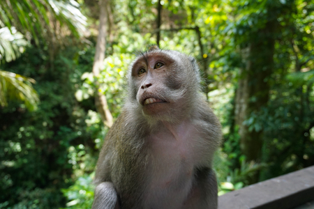 An adorable macaque monkey having a good time on a bench, while posing for the camera in the sacred monkey forest in Ubud, Bali. The scientific name of the apes are Macaca fascicularis. 写真素材