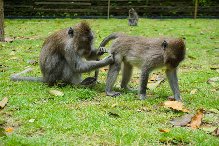 Two monkeys helps to get rid of fleas to another, Bali, Indonesia